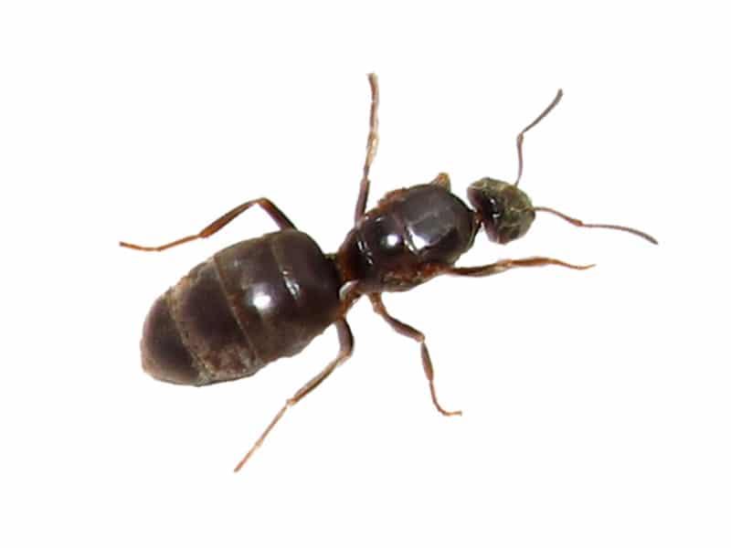 sort-havemyre-Lasius-niger-skadedyrservice