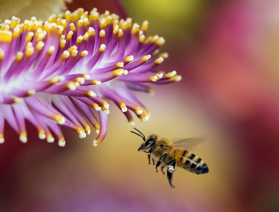 honningbi-i-blomst
